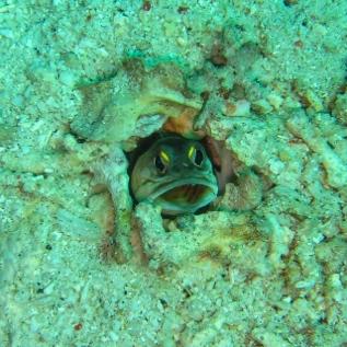 An unusually friendly jawfish