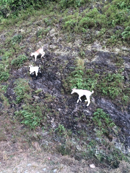 Baby Goats Climbing  Baby Goats Clim...