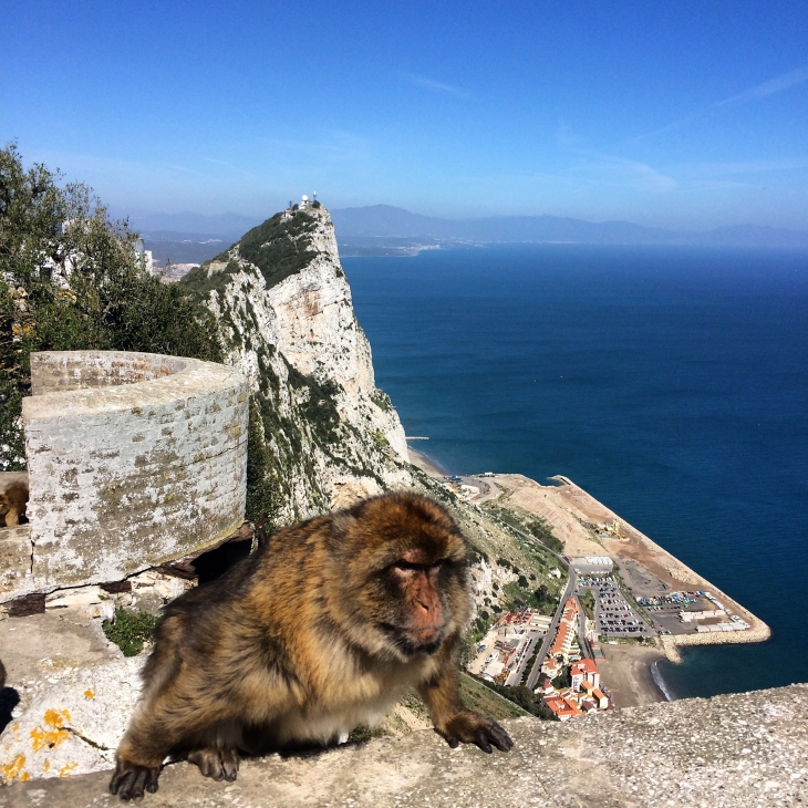 A Barbary ape that I cunningly surprised as he hopped up onto the wall