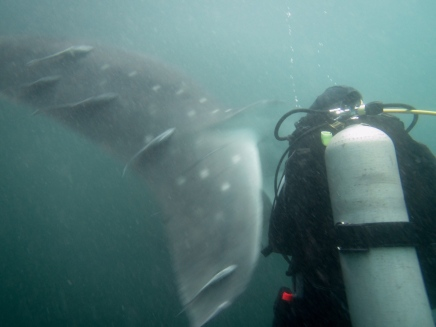 A_close_encounter_with_a_whale_shark_tail.jpg